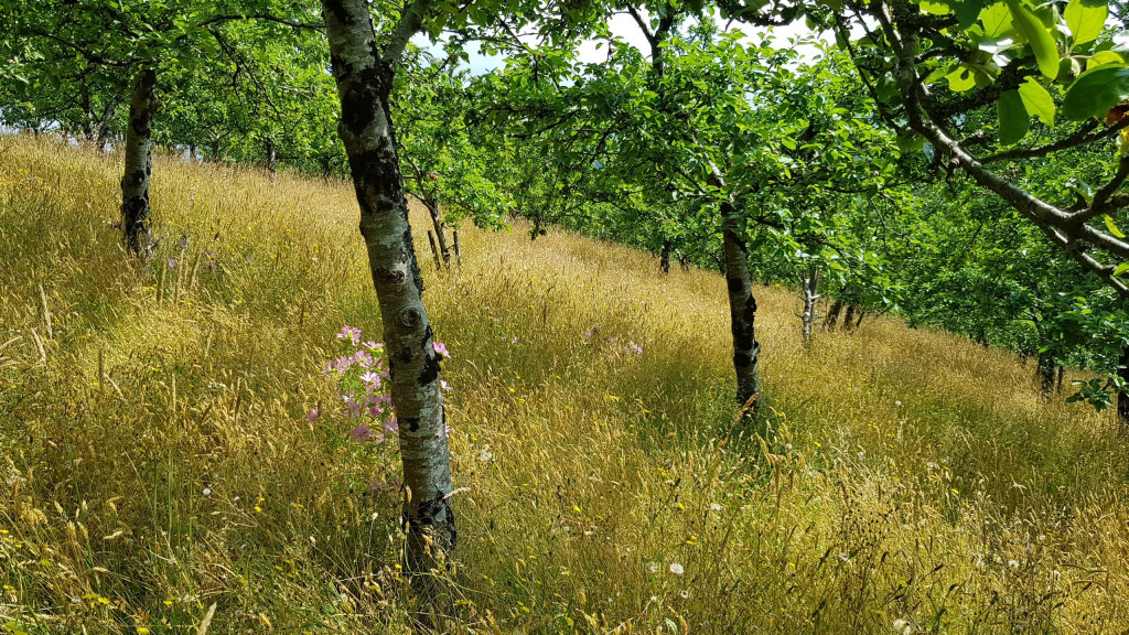Bloomin marvellous – Wildflowers beneath this organic north devon orchard